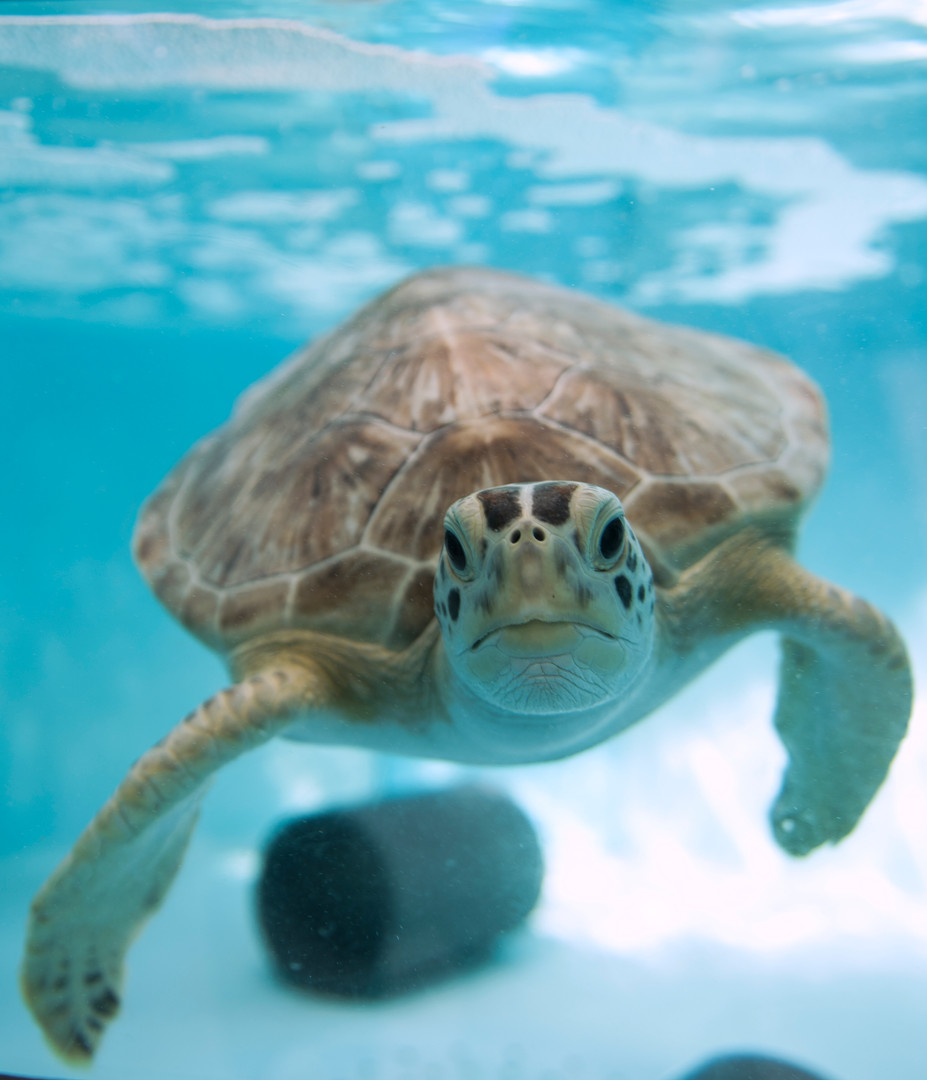 Harbor, the green sea turtle, looks through the window in his tank on Sept. 15, 2016 in the quarantine room at the Pittsburgh Zoo and PPG Aquarium in Highland Park. (Pittsburgh Post-Gazette)