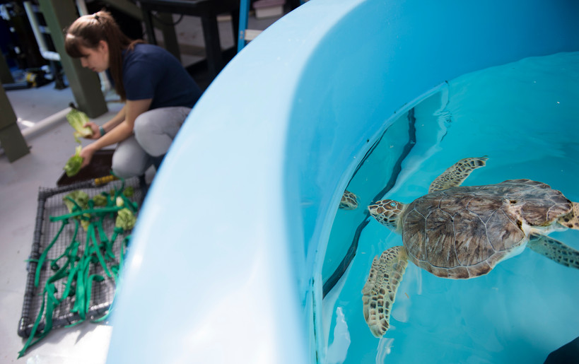 Harbor looks through the window of his tank at aquarist Josie Romasco who attaches lettuce to an enrichment device on Sept. 15, 2016 in the quarantine room at the Pittsburgh Zoo and PPG Aquarium in Highland Park. (Pittsburgh Post-Gazette)