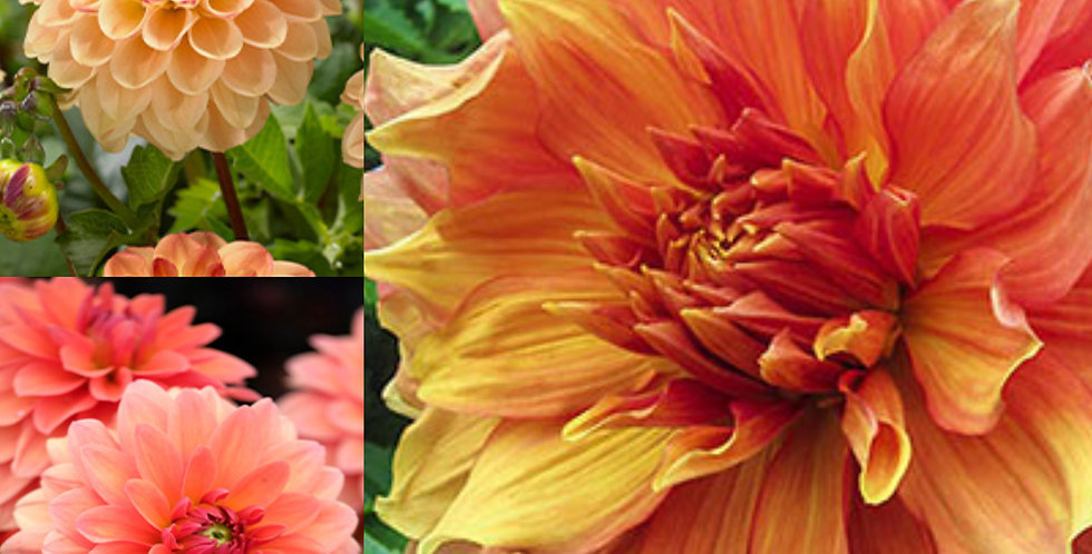 Tropical Dahlias