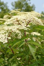 Elderflower plant.jpg