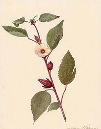 Hibiscus-1811 herbal academy.jpeg