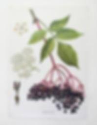 Elderberry Botanical.jpg