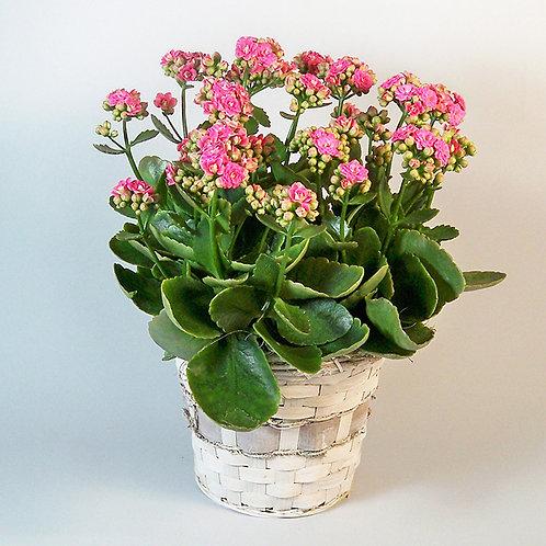 Blooming Kalanchoe Plant