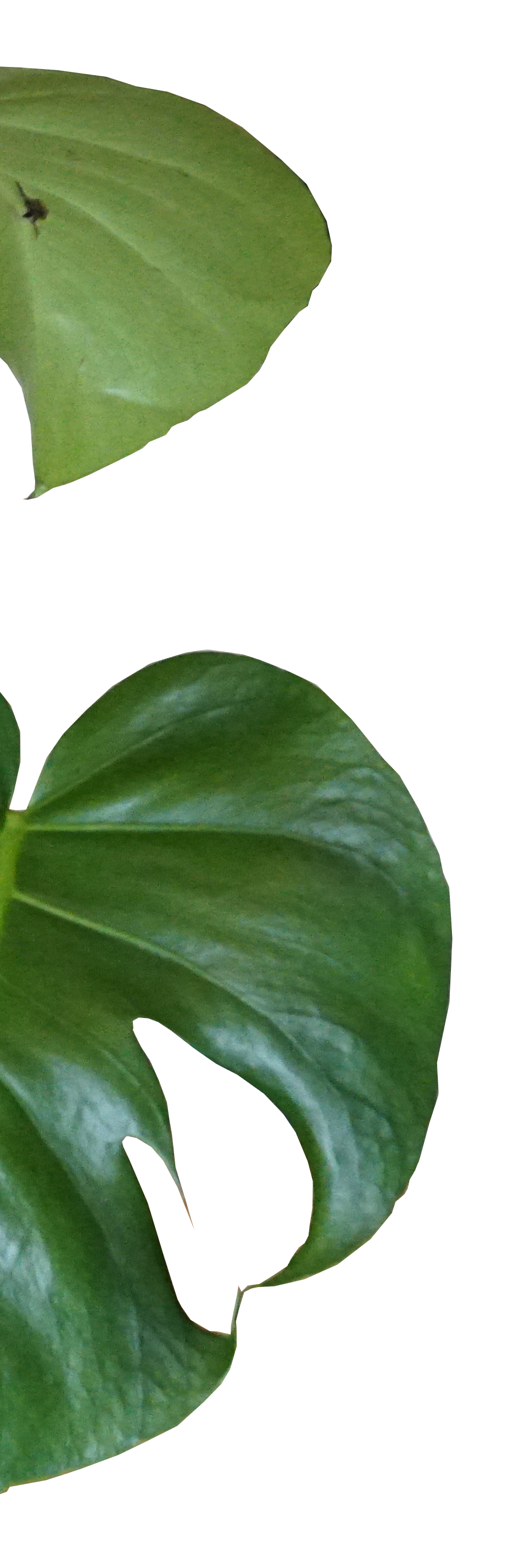 plant leaves.png