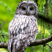 Ural owl © Tom Ruman from www.owlpages.com