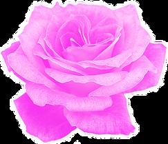 rose-violet.png