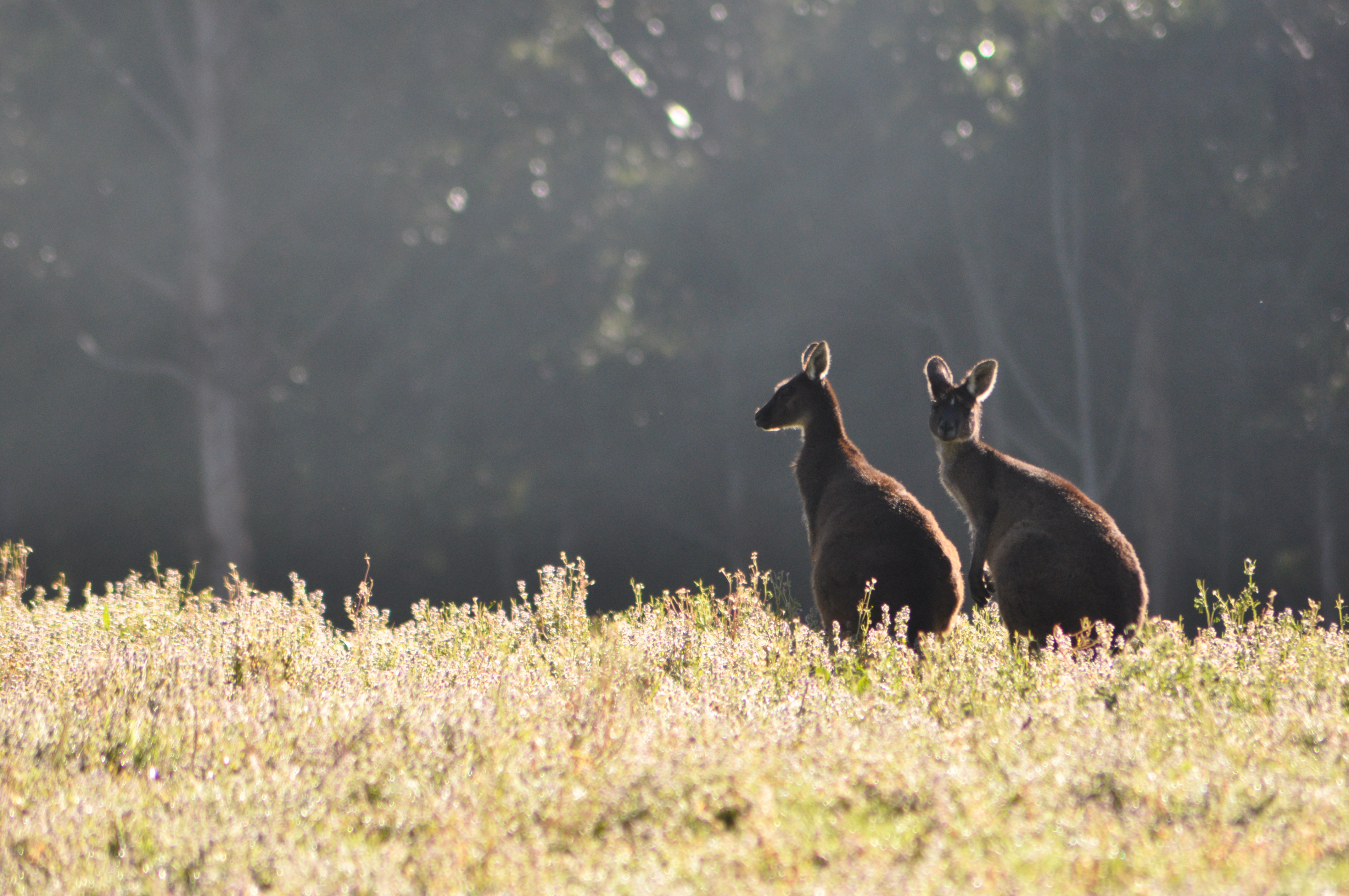 roos on rise