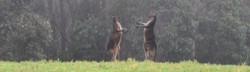 boxing_kangaroos