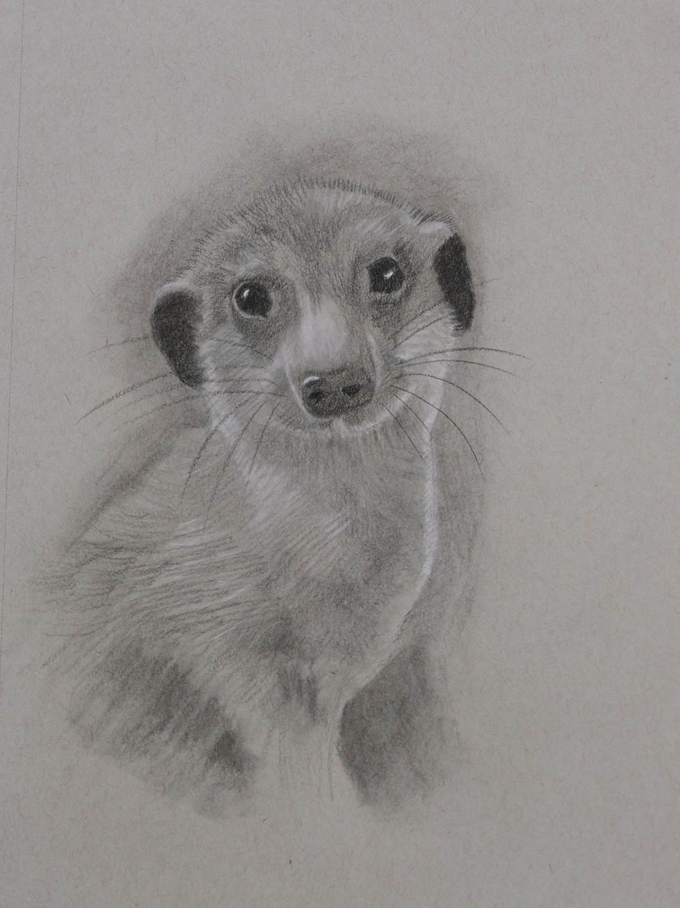Meerkat  by John Jones