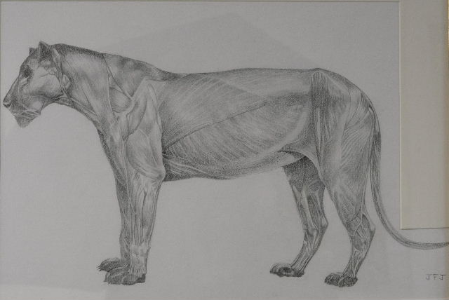 Lion anatomical
