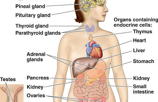 The glands of the human body