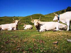 Vaches Pirenaika