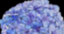 Watercolour Hydrangea by Kirsty | Kirsty Topps Art