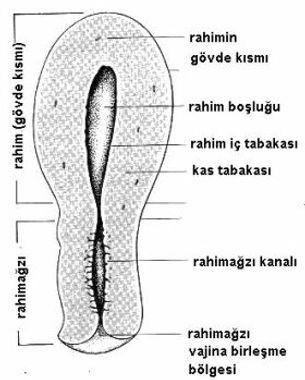 kadında rahimin anatomik yapısı