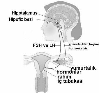 beyin ve yumurtalıklardan salgılanan homonlar yumurtlamaya ve düzenli adet görmeye yardımcı olur.