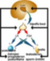 hipotalamus-hipofiz-yumurtalık aksında salgılanan hormonlar vasıtasıyla oluşan yumurtlama