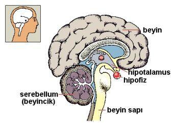 beyin dokusunun genel yapısı