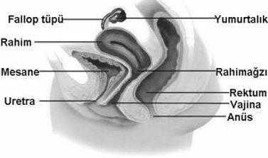 kadın iç genital organları