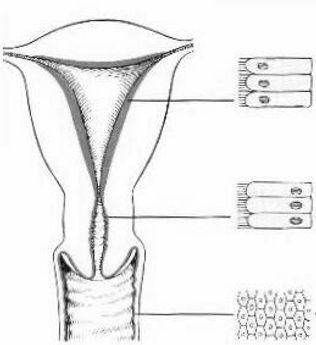 kadın iç genital organlarının hücresel farklılıkları