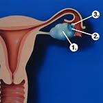 Kadında Fallop tüpü, yumurtalık ve yumurta hücresi