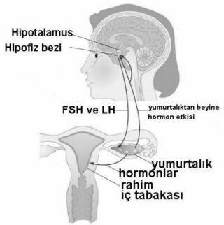 beyin, yumurtalıklar, hormonlar ve adet kanaması ilişkisi
