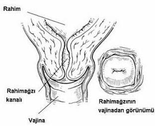 kadın rahim ağzı yapısı