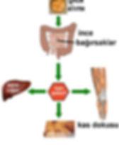 Gıda alımı, insülin metabolizması, kan şekeri regülasyonu, yağ v kas dokusu oluşumu