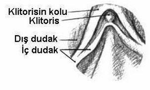 kdında klitorisin yapısı