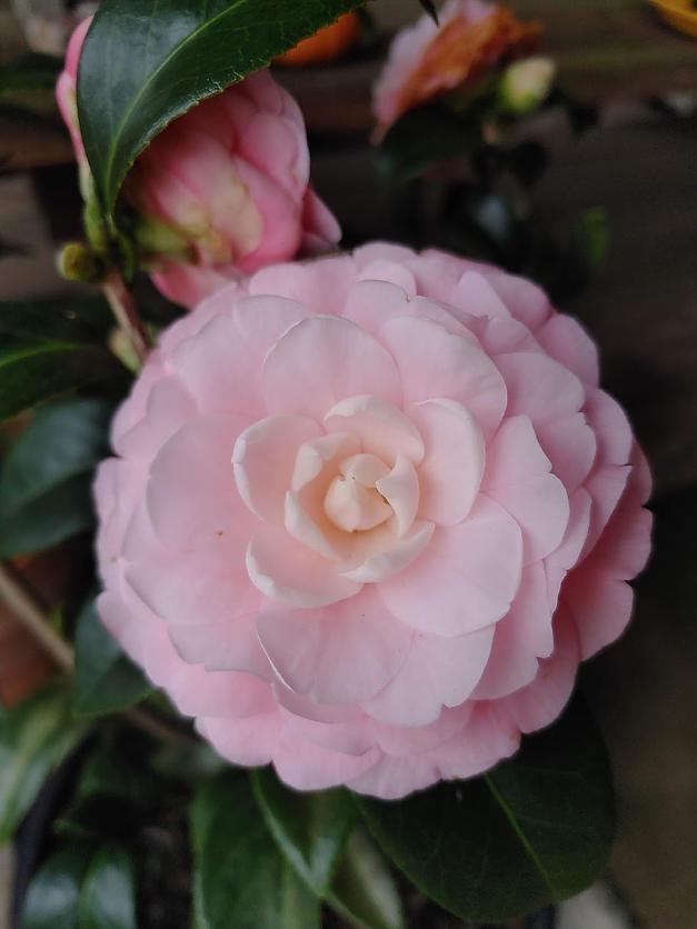 camellia newnan, georgia