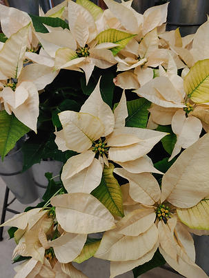 Southern Roots poinsettias