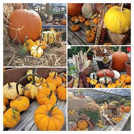 pumpkins Southern Roots Nusery.jpg