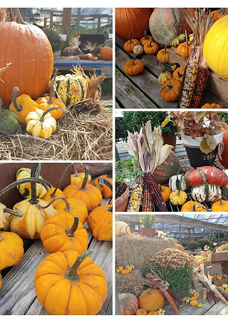 pumpkins Southern Roots Nusery.jpg