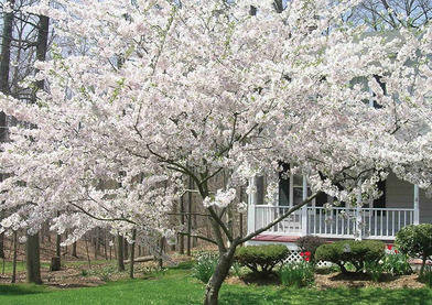 yoshima cherry tree