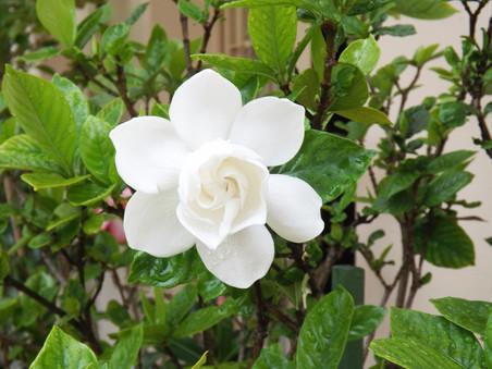white gardenia.jpg