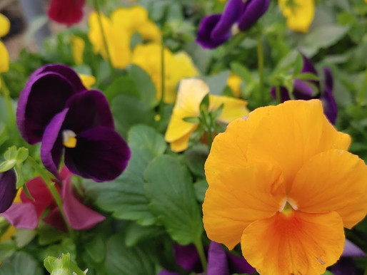 GROWING PANSIES