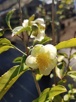 tree tree camellia