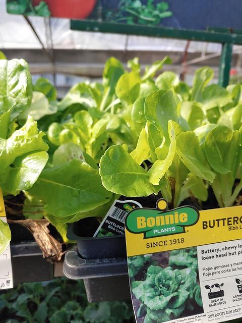 buttercrunch lettuce