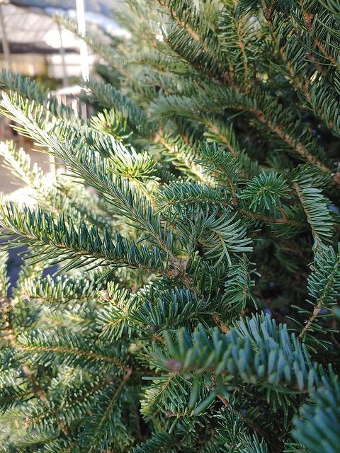 Frasier Fir Christmas trees.jpg