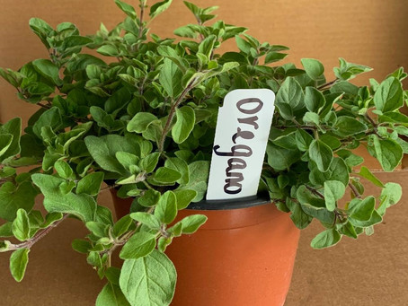 How to Grow Oregano Indoors in a Pot. All You Need to Know!