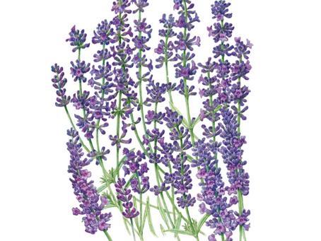 Munstead Lavender
