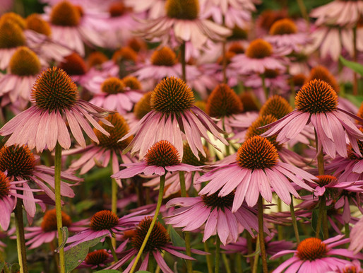 How to cut back herbaceous perennials.