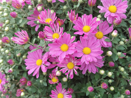 How to Care for Chrysanthemums: