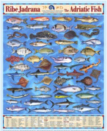 Ribe Jadrana - Adriatci Fish.jpg