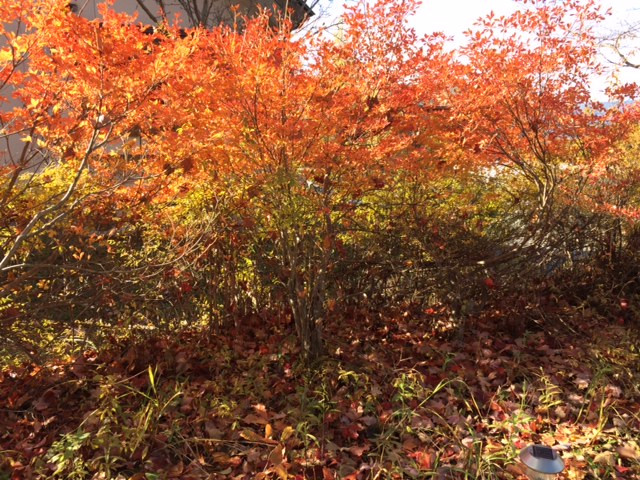 庭のドウダンツツジの紅葉です