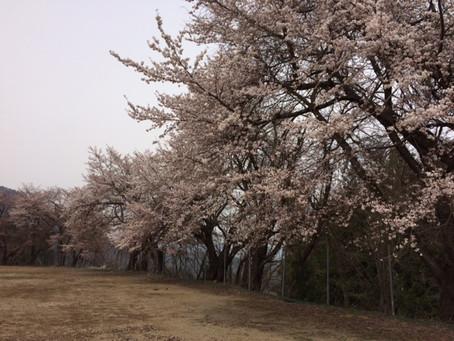 桜咲いたのに雪