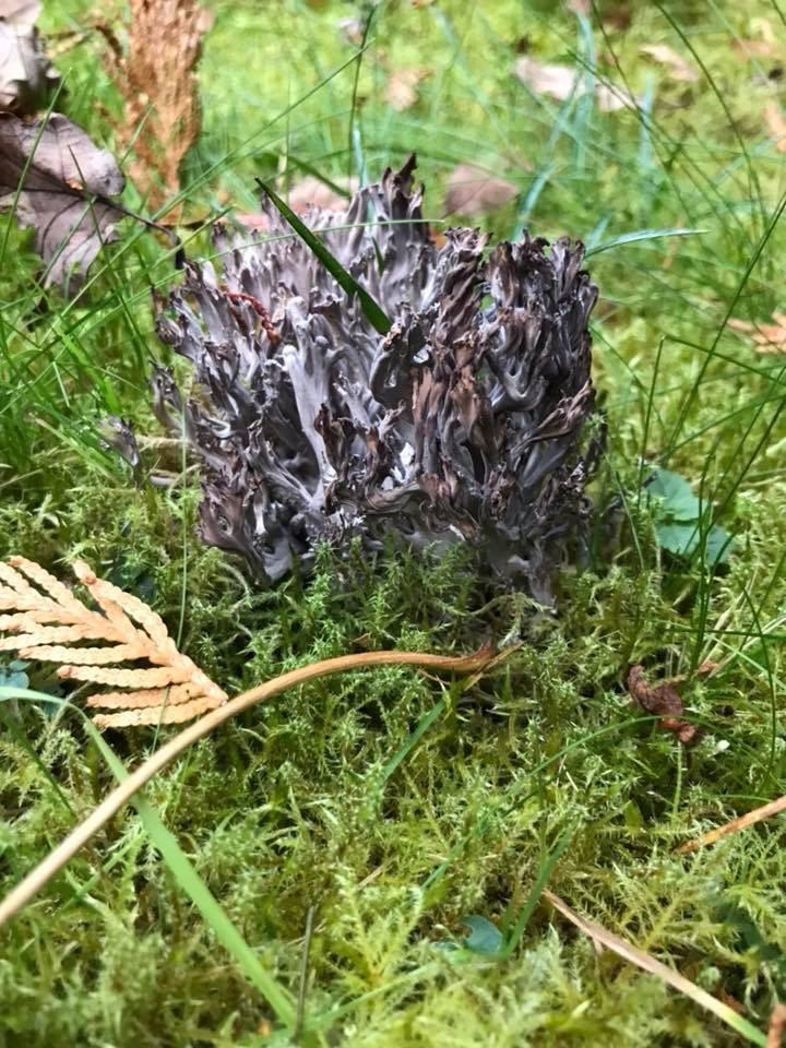 Old lawn fungus 2018