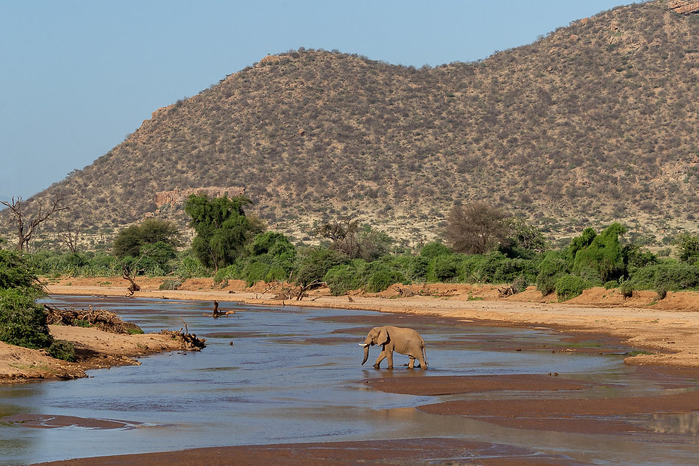 Elephant Crossing the Ewaso Ng'iro River - Samburu National Park