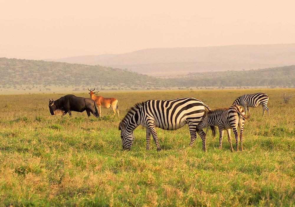 Wildebeests, Zebras & Gazelle grazing at Maasai Mara Kenya