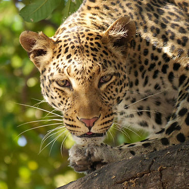 Holiday Bazaar leopard