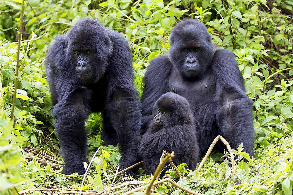 Mountain Gorillas at Volcanoes National Park, Rwanda